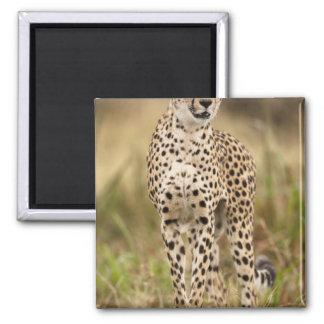 Cheetah, Acinonyx jubatus, in the Masai Mara Magnet