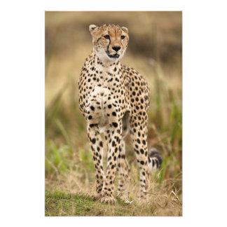 Cheetah, Acinonyx jubatus, in the Masai Mara Photo Print