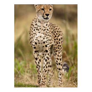 Cheetah, Acinonyx jubatus, in the Masai Mara Postcard