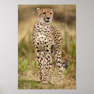 Cheetah, Acinonyx jubatus, in the Masai Mara Print