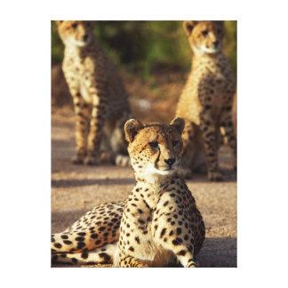 Cheetah (Acinonyx Jubatus), Kruger Natl. Park Stretched Canvas Prints