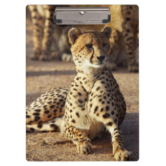 Cheetah (Acinonyx Jubatus), Kruger Natl. Park Clipboard