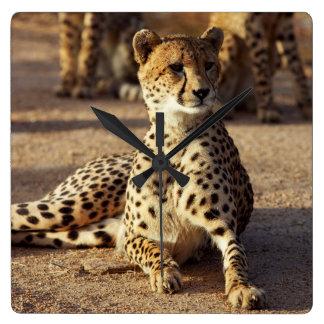 Cheetah (Acinonyx Jubatus), Kruger Natl. Park Clock
