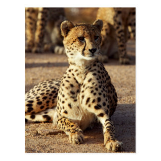Cheetah (Acinonyx Jubatus), Kruger Natl. Park Postcard