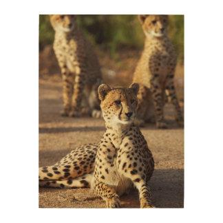 Cheetah (Acinonyx Jubatus), Kruger Natl. Park Wood Print