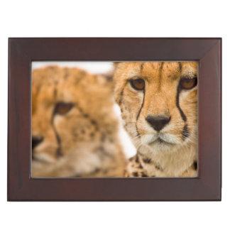 Cheetah (Acinonyx Jubatus) Mother And Cub Memory Boxes