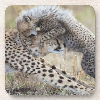 Cheetah Acinonyx jubatus mother playing with Beverage Coaster