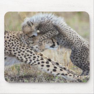 Cheetah Acinonyx jubatus mother playing with Mouse Pads