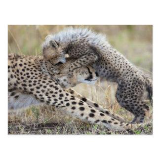 Cheetah (Acinonyx jubatus) mother playing with Postcard