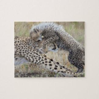 Cheetah (Acinonyx jubatus) mother playing with Puzzles