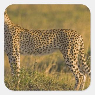 Cheetah Acinonyx jubatus) on plain, Masai Square Sticker