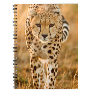 Cheetah (Acinonyx Jubatus) Portrait, Maasai Notebook