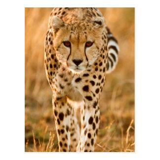 Cheetah (Acinonyx Jubatus) Portrait, Maasai Postcard