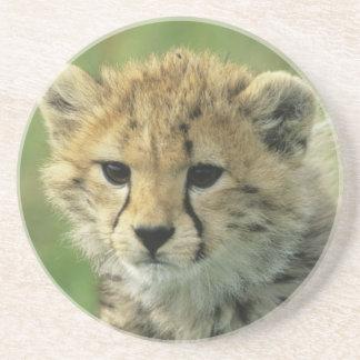 Cheetah, (Acinonyx jubatus), Tanzania, Serengeti Coasters