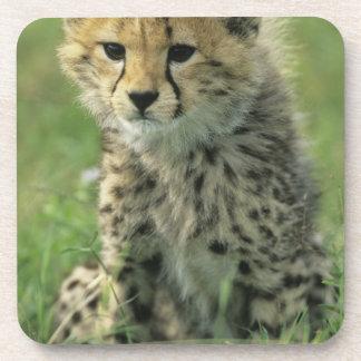 Cheetah Acinonyx jubatus Tanzania Serengeti Coaster