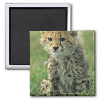 Cheetah, (Acinonyx jubatus), Tanzania, Serengeti Refrigerator Magnet