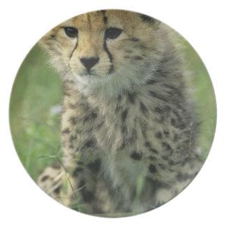 Cheetah, (Acinonyx jubatus), Tanzania, Serengeti Party Plates