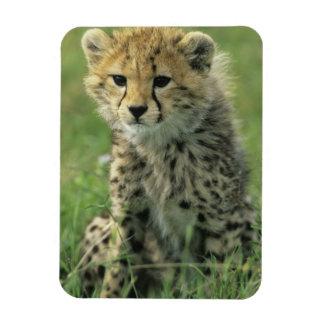 Cheetah, (Acinonyx jubatus), Tanzania, Serengeti Rectangular Photo Magnet