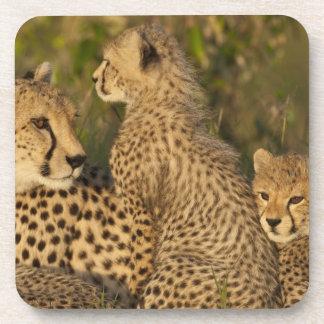 Cheetah Acinonyx jubatus Upper Mara Masai Coaster