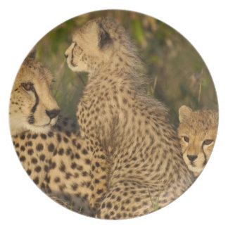 Cheetah, Acinonyx jubatus, Upper Mara, Masai Party Plates