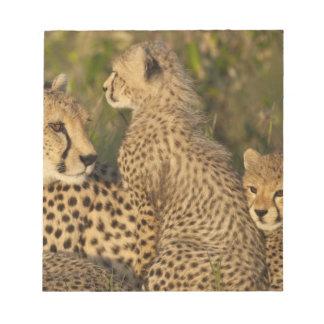 Cheetah, Acinonyx jubatus, Upper Mara, Masai Scratch Pads