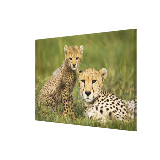 Cheetah, Acinonyx jubatus, with cub in the Canvas Print