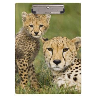 Cheetah, Acinonyx jubatus, with cub in the Clipboards