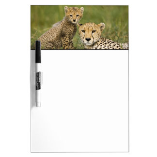 Cheetah, Acinonyx jubatus, with cub in the Dry Erase Whiteboard