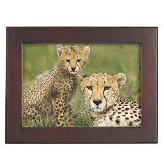 Cheetah, Acinonyx jubatus, with cub in the Keepsake Boxes