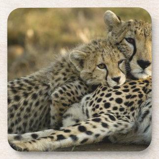 Cheetah Acinonyx jubatus with cub in the Masai 2 Beverage Coasters