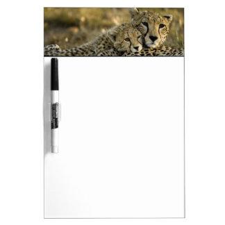 Cheetah, Acinonyx jubatus, with cub in the Masai 2 Dry Erase Board