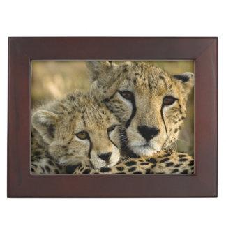 Cheetah, Acinonyx jubatus, with cub in the Masai 2 Memory Box