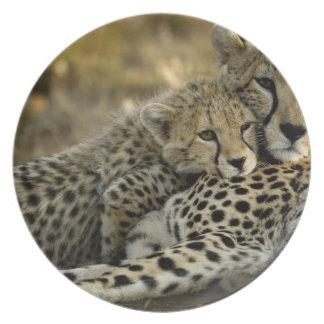 Cheetah, Acinonyx jubatus, with cub in the Masai 2 Plates
