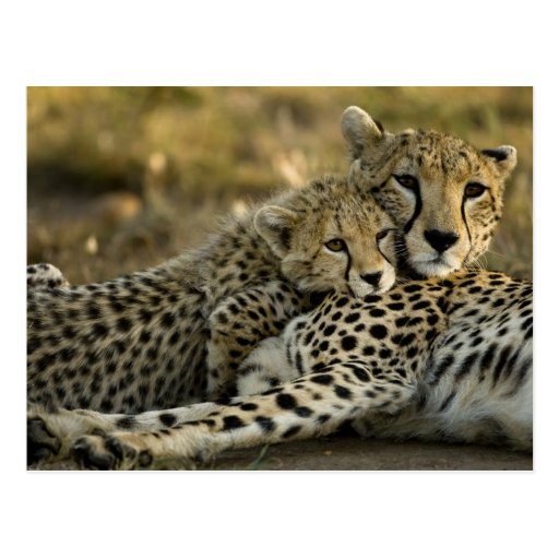 Cheetah, Acinonyx jubatus, with cub in the Masai 2 Post Card