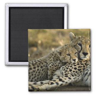 Cheetah, Acinonyx jubatus, with cub in the Masai 2 Square Magnet