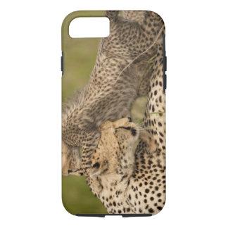 Cheetah, Acinonyx jubatus, with cub in the Masai 3 iPhone 8/7 Case