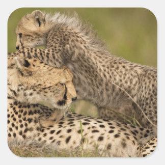 Cheetah, Acinonyx jubatus, with cub in the Masai 3 Square Stickers