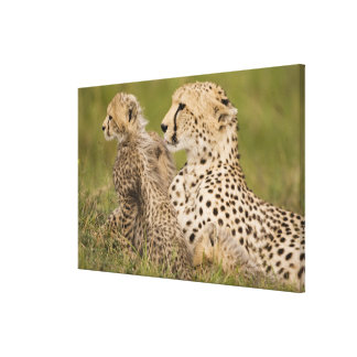 Cheetah, Acinonyx jubatus, with cub in the Masai Gallery Wrap Canvas