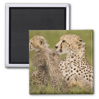 Cheetah, Acinonyx jubatus, with cub in the Masai Magnet