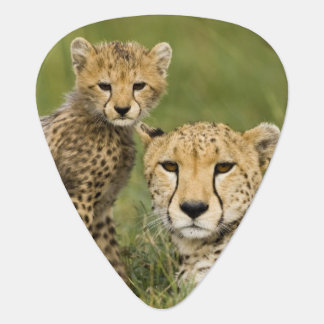 Cheetah, Acinonyx jubatus, with cub in the Plectrum