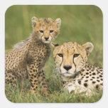 Cheetah, Acinonyx jubatus, with cub in the Square Sticker