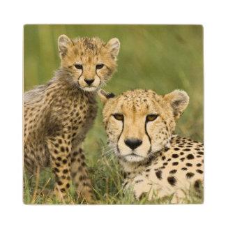 Cheetah, Acinonyx jubatus, with cub in the Wood Coaster