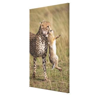 Cheetah (Acinonyx jubatus) with jackrabbit kill, Stretched Canvas Prints