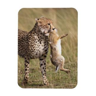 Cheetah (Acinonyx jubatus) with jackrabbit kill, Rectangular Photo Magnet