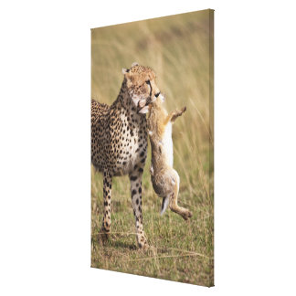 Cheetah (Acinonyx jubatus) with jackrabbit kill, Gallery Wrap Canvas