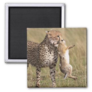 Cheetah (Acinonyx jubatus) with jackrabbit kill, Magnet