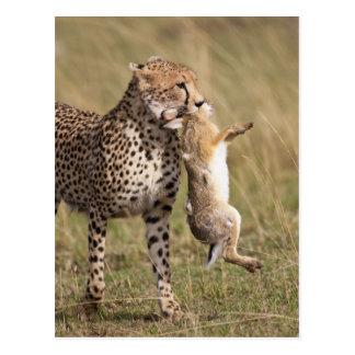 Cheetah (Acinonyx jubatus) with jackrabbit kill, Postcard