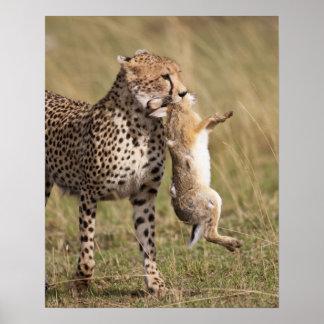 Cheetah (Acinonyx jubatus) with jackrabbit kill, Poster