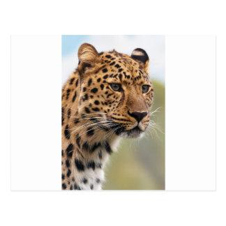 Cheetah Animal Postcard