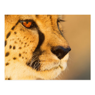 Cheetah Close-up of a female Postcards